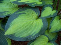 hosta-paul's-glory-2