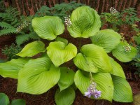 hosta-sum-and-substance-2